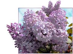 Flieder (Syringa) am Pfingstsonntag. Lilac (Syringa) on Pentecost Sunday. ©UdoSm