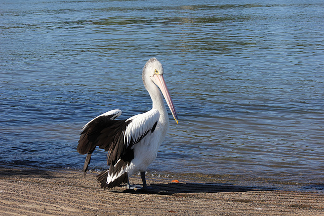 Friday Pelican