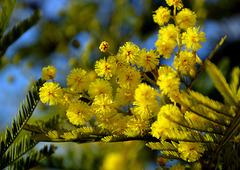 Une branche de mimosa de mon jardin pour vous ..../ A mimosa branch of my garden for you ....
