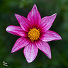 Pictures for Pam, Day 54: Pink Passion Dahlia