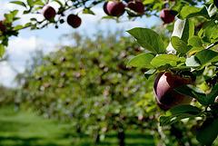 pommes021