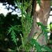Urtica cannabina - fleurs mâles