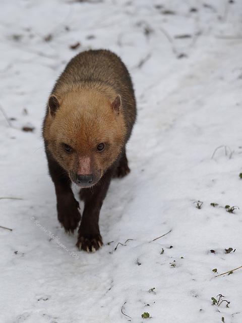 Waldhund im Schnee (Wilhelma)