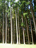 Sequoias.