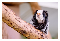 Black-tufted marmoset...