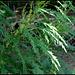 Urtica cannabina - fleurs femelles