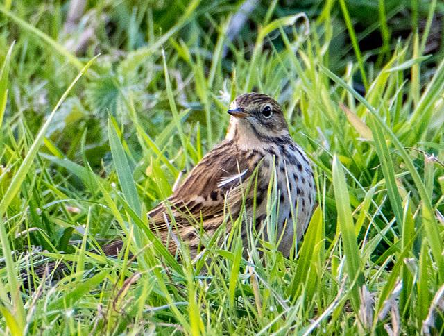 Meadow pippit