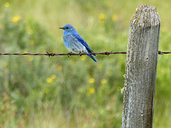 Mountain Bluebird with wildflower bokeh