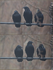 Three crows in the fog