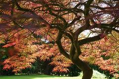 Acer palmatum ''dissectum''.