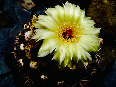 Cactus flower.... Taken at Dunedin Botanic Garden New Zealand