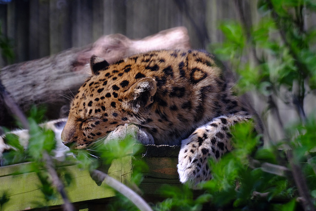 Marwell Zoo Leopard 1