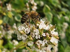 Bee on herb flowers