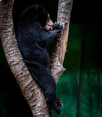 Sun bear cub3