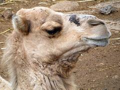 Kamel-Porträt