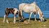 18-07-22 - 37 - (UK) Bolventor - Colliford Lake - Chevaux-LR (3)