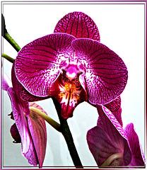 Orchids... ©UdoSm