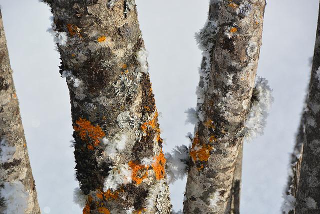 lichens givrés