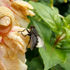 Sir Edmund Fly attempts the North Face of the Fuschia