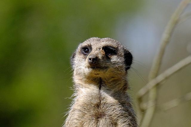 Marwell Zoo Meerkat 1 XT1