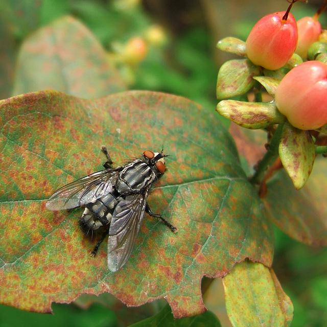 A fly contemplates the hypericum hips