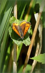 Large Copper ~ Grote vuurvlinder (Lycaena dispar), female  ♀...
