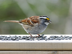 Day 10, White-throated Sparrow, Tadoussac