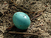 American Robin's egg on the ground