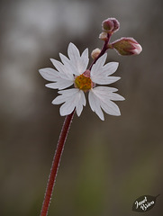 Delicate Woodland Star