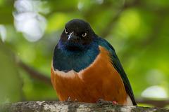 Superb starling3