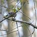 Geai des chênes