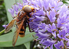 A hornet mimic hoverfly