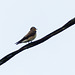 Southern Rough-winged Swallow (?), on way to Brasso Seco, Trinidad