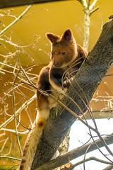Tree kangaroo1