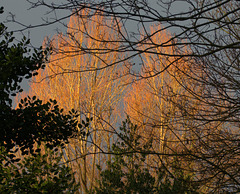 """Trees """"on fire"""""""