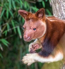 Tree kangaroo3