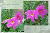 The name escaped me, but now I remember - Incarvillea!  - East Blatchington June 2021