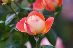 Rosenblüte mit Regentropfen
