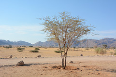 The Desert of Namib, There are Too Few Trees
