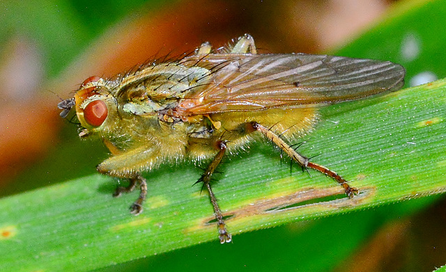 Yellow Dung-Fly. Scathophaga stercoraria