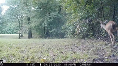 Whitetail deer gathering for the night
