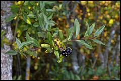 Ligustrum vulgare- Troène (1)
