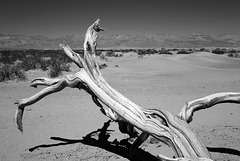 Death Valley, Trees