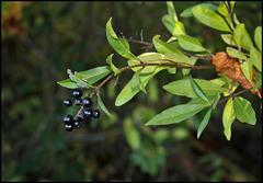 Ligustrum vulgare- Troène (2)