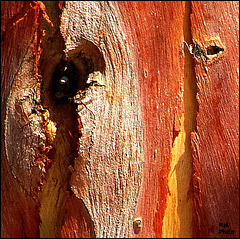 Eyes from the eucalyptus tree