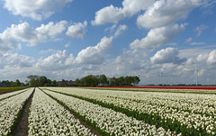 Tulips and nice Clouds in the Flevopolder, the Netherlands...