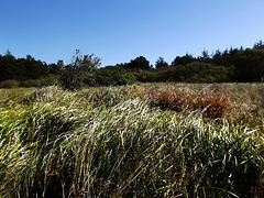 High coastal grass