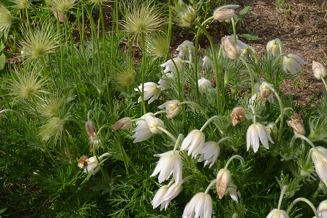 Campanules blanches