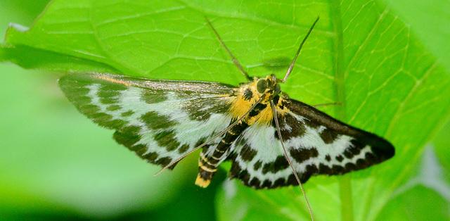 Moth.Small Magpie. Eurrhypara hortulata