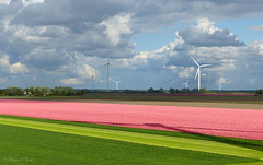 Looking out over the Tulip fields...